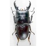 Dorcus intermedius intermedius 40+
