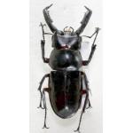 Pseudorhaetus sinicus sinicus 45+