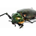 Euchiridae,Rutelidae