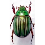 Chrysina adelaida (Green form 2)