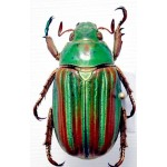 Chrysina adelaida (Green-red)
