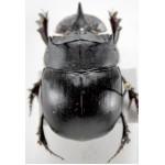 Catharsius molossus