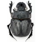 Heliocopris bucephalus 45+