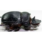 Heliocopris dominus /Thailand/ fem 55+