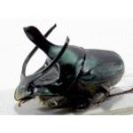 Onthophagus mouhoti