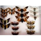 Цикады (Cicada):