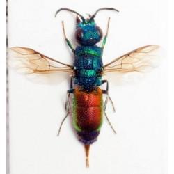 Chrysididae Chrysis rutilans