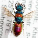 Chrysididae Chrysis succincta