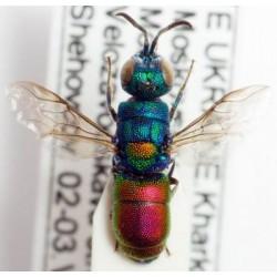 Chrysididae Chrysis scutellaris