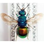 Chrysididae Hedychrum gerstaeckeri