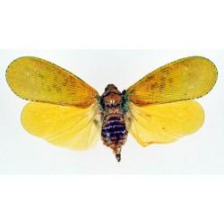Aphaena aurantia
