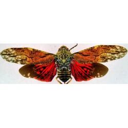 Aracynthus sanguinea male