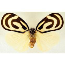Bythopsyrna circulata