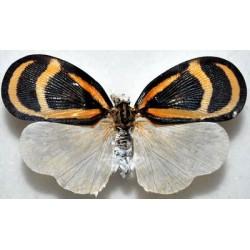 Bythopsyrna sp4