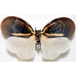 Bythopsyrna sp5