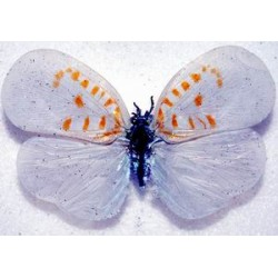 Bythopsyrna sp6