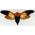 Cicada sp22
