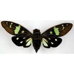 Gaeana laosensia green