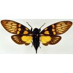 Gaeana maculata