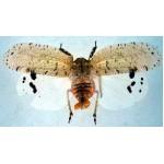Homoptera sp 18