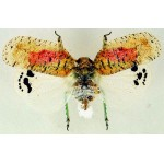 Homoptera sp40