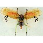 Homopthera ssp 14