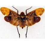 Penthicodes farinosa niasensis