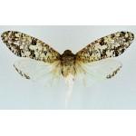 Phenax variegata