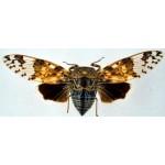 Platypleura ridleyana