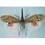 Pyrops oculata