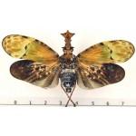 Phrictus buchei