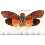 Scaralis versicolor