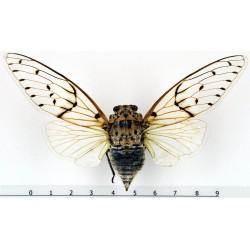 Ayuthia spectabile