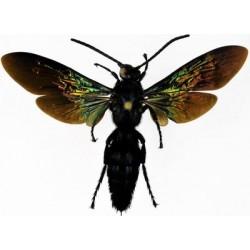 Scoliidae sp5