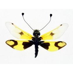 Ascalaphus macaroius male
