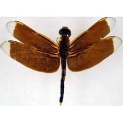 Od.Neurothemis plimeus