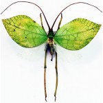 Orthoptera sp19 fem