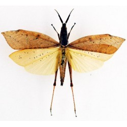 Orthoptera ssp29