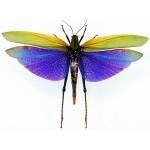 Titanacris albipes fem