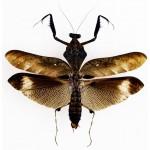 Deroplatys lobata male