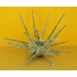 Prionocidaris  ssp220