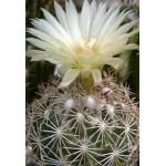 Coryphantha palmeri SB1080