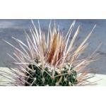 Echinofossulocactus dichroacanthus N82.036