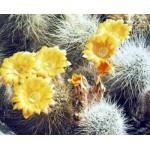 Lobivia aureiflora v. albilongiseta
