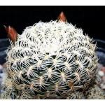 Sulcorebutia albissima WK679