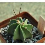 Astrophytum crassispinum socora