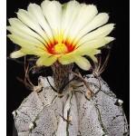 Astrophytum niveum f.flavispinum