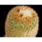 Epithelantha rufispina