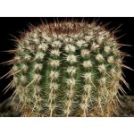Notocactus rutilans,