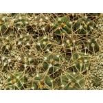 Gymnocalycium guanchinense  v. mirandaense STO 083